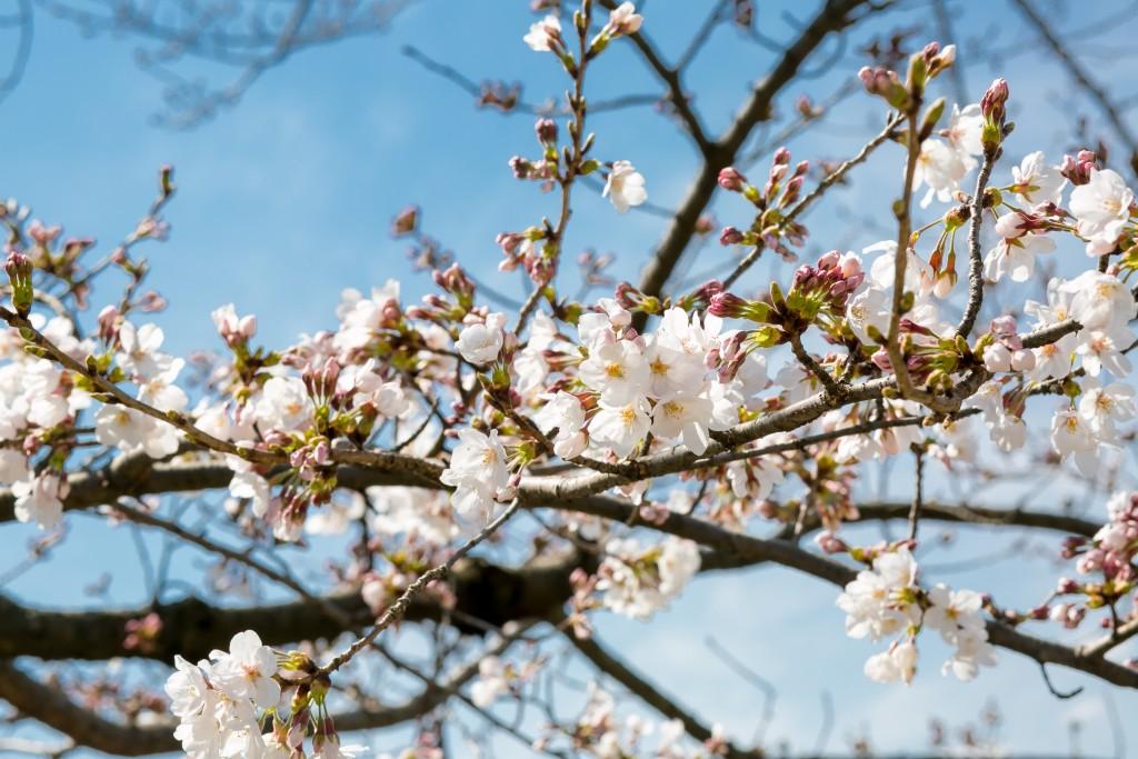 岡山倉敷で前撮り別撮りならNEMURAFILMS後楽園和装前撮り桜1